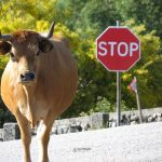 Regional Arouquesa Cow