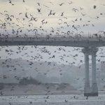 """""""The Birds"""" by Hitchcock na Ria de Aveiro"""