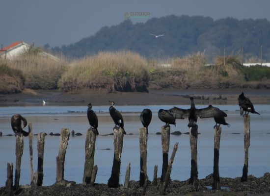 Corvos marinhos birdwatching Aveiro