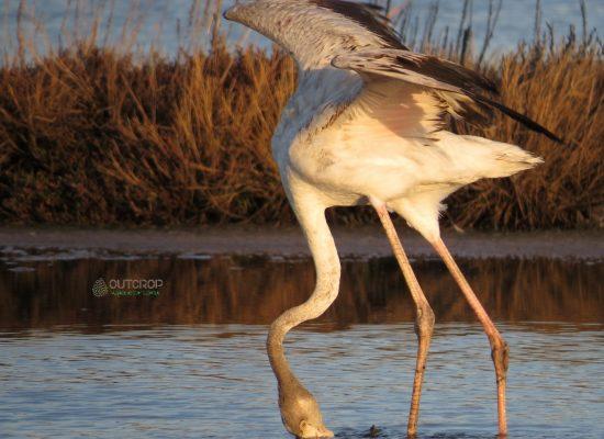 Flamingos Birdwatching Aveiro