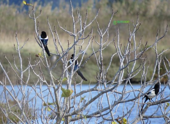 Birdwatching Aveiro Pêga-rabuda