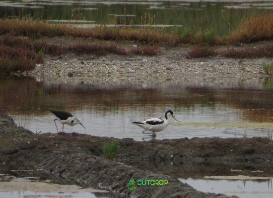 Observação de aves Aveiro Avoceta